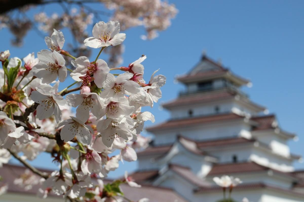 """Cherry blossom with Aizuwakamatsu castle in the background. Cherry blossom is one of the most iconic nature symbol in Japan. Every year during the blooming season, people take """"Hanami"""" (meaning flower viewing),a traditional custom of enjoying the beauty of flowers. Blooming of cherry blossom symbolizes the aspect of human life."""